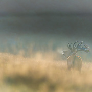 stag hunting the roar new zealand central north island