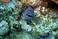 (2004)- Moray Eel- Soufriere Scott's Head Marine Reserve,  Commonwealth of Dominica.