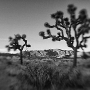 Joshua Tree Shadows At Dusk - Lensbaby - Infrared Black & White