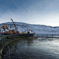Fish-farming in Skutulsfjordur