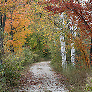 Path through orange fall color leaves by white tree trunks. Cadillac Heritage Nature Study Area, William Mitchell State Park, Cadillac, Michigan, USA. Walk the pleasant 2.5-mile Heritage Nature Trail on boardwalks and packed limestone starting from Carl T. Johnson Hunting and Fishing Center, through old-growth hardwood forest then around an old dike system which retains rich wetlands.