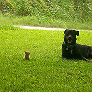 Black Lab and kitten keeping watch for intruders.