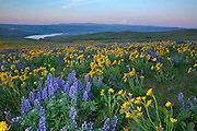 WA13104-00...WASHINGTON - The balsamroot and lupine covered meadows of Dalles Mountain Ranch located in view of Mount Hood and Mount Jefferson, overlooking the Columbia River in the Columbia Hills State Park at sunrise.