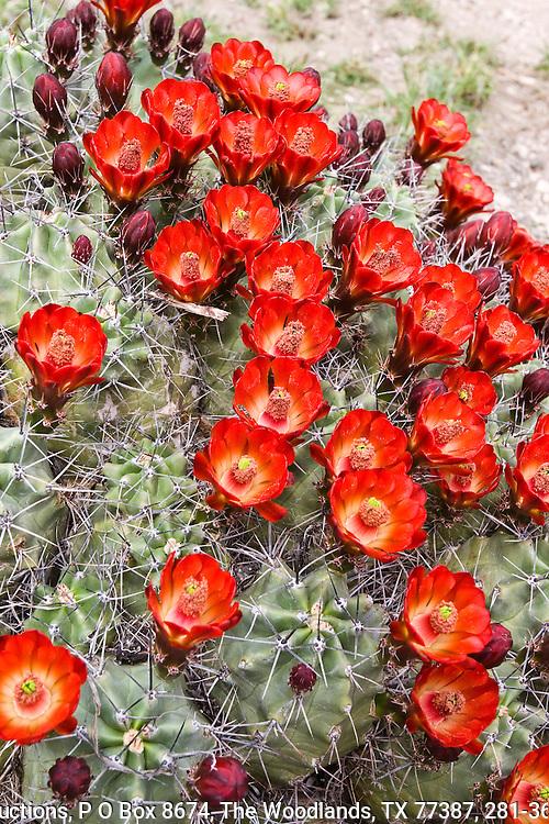 Claret cup cactus (Echinocereus triglochidiatus) in bloom.  Big Bend National Park, Texas.