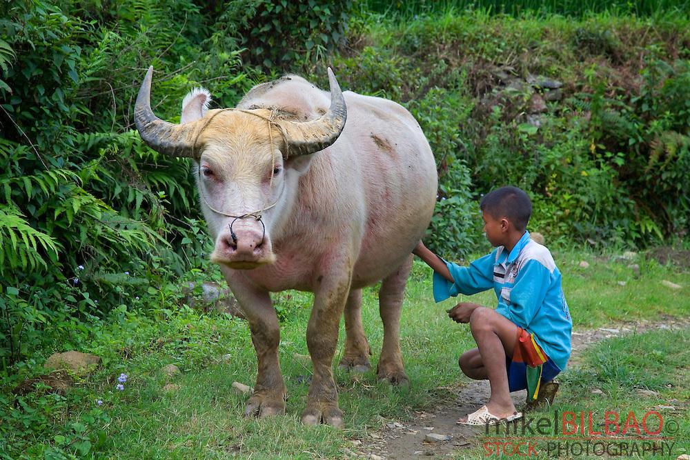 boy and domestic Asian water buffalo (Bubalus bubalis). <br /> Cat Cat village. Sapa, Lao Cai province, Vietnam.