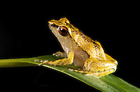 Batrachylodes frog with red eyes sitting on a leaf