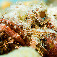 A close up shot of a spotted scorpionfish (Scorpaena plumieri)