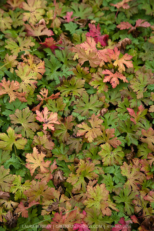 The colorful leaves of  a mat of perennial cranesbill geranium.