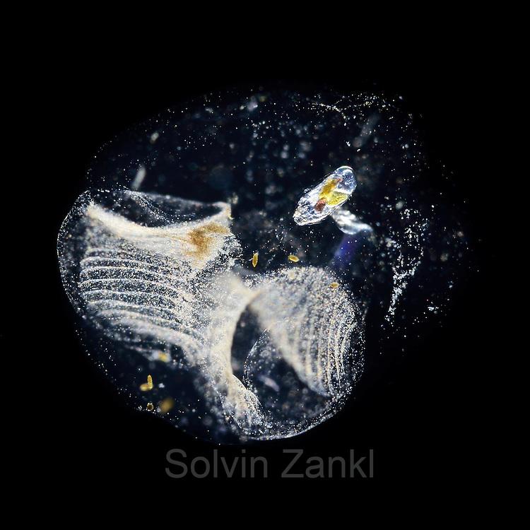 pelagic tunicate (Oikopleura dioica) Raunefjord bei Bergen, Norwegen