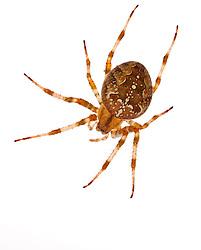 Araneus diadimata, spider. Seacoast Science Center, Rye, NH.