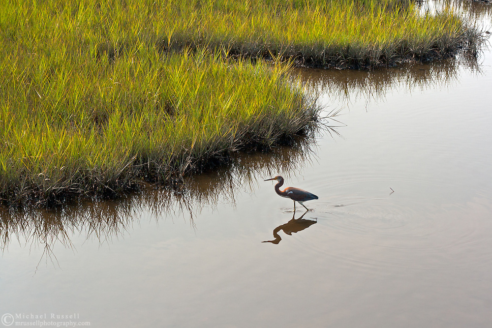 A Tricolored Heron (Egretta tricolor) walking through  the shallows of the Bogue Sound Estuary in North Carolina, USA