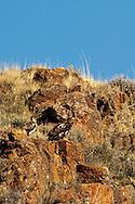 Golden Eagles (Aquila chrysaetos) Rock Lakes National Wildlife Refuge, Montana