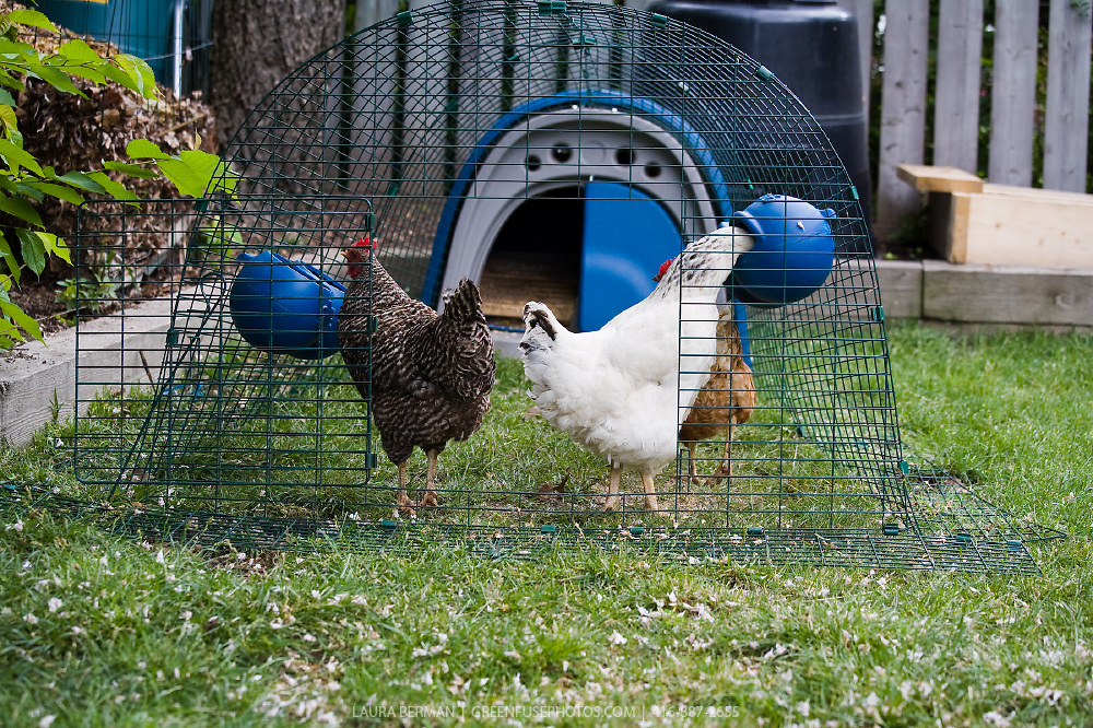 backyard chickens in the city greenfuse photos garden