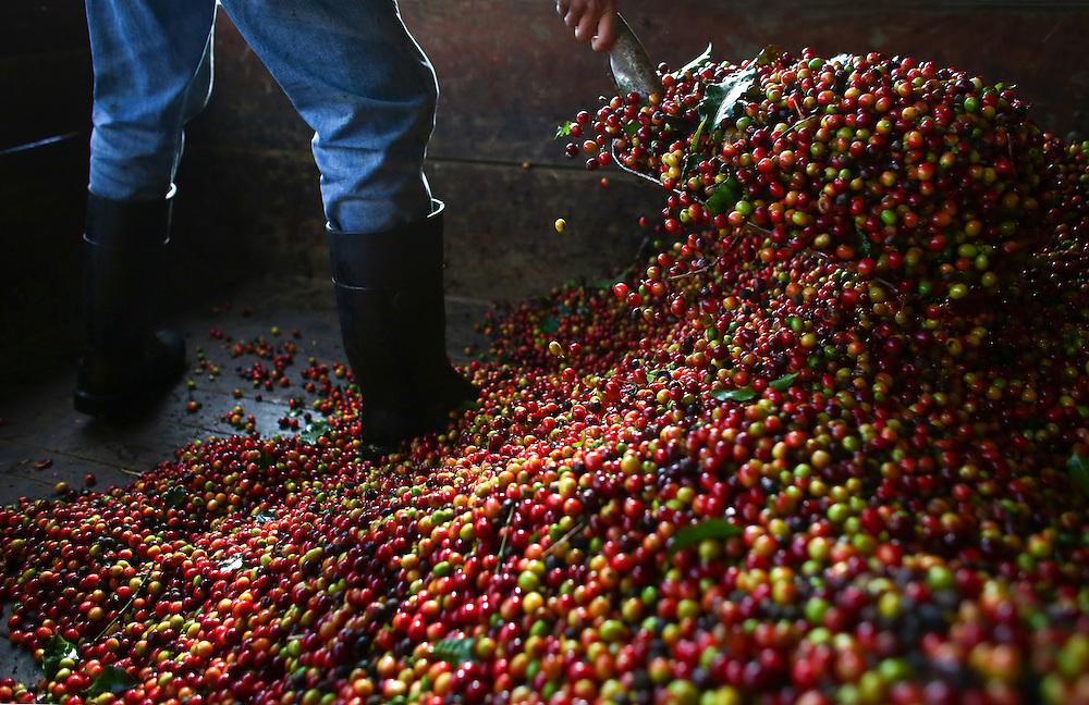 A farmer shovels coffee cherries during the 2016 Starbucks Origin Experience for Partners. Photographed in January 2016. (Joshua Trujillo, Starbucks)