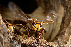 Hornisse (Vespa crabro) sorgt für frische Luft in ihrem Nest, welches sich in einer Baumhöhle befindet. Elbtalauen, Deutschland.    Brown hornet or European hornet (Vespa crabro)