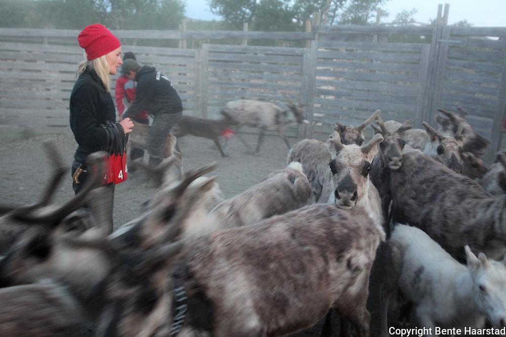 Maja-Stina Bransfjell bor i Kiruna, men er hjemme for å hjelpe bror sin med merkinga. Kalvmerking, Saanti sijte, Skarpdalen, Tydal/Meråker. Reindeer herding. Sørsamisk reindrift i Saanti Sijte (Essand reinbeitedistrikt).