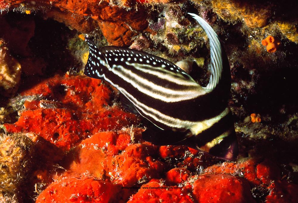 Spotted Drum (Equetus punctatus) Bonaire