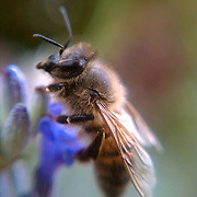 Macro photo of a bee made with cell phone camera October 18, 2010, in Washington, DC...Photo by Khue Bui