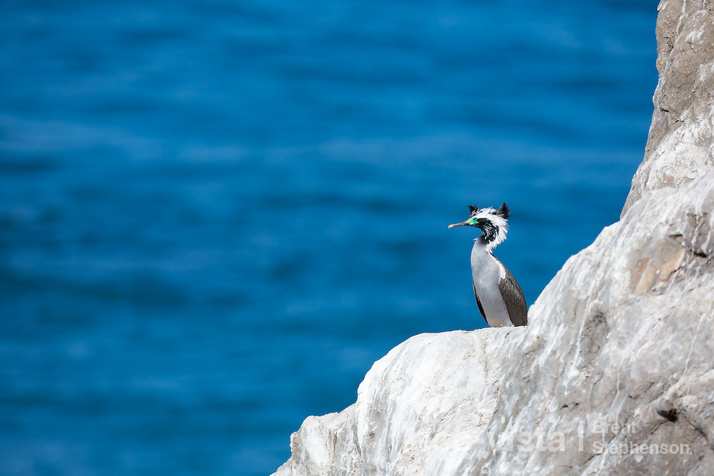 An adult spotted shag (Stictocarbo punctatus) in brilliant breeding plumage rests on top of a gauno covered rock overlooking the sea. Ohau Point, Canterbury, New Zealand. August.
