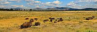 Anything you've heard about seeing bison (aka Buffalo) all over the place in Yellowstone National Park is absolutely true.  They are extremely abundant and very easy to find.....©2009, Sean Phillips.http://www.Sean-Phillips.com