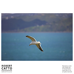 Seagulls circle in the harbour seen from Somes Island, Wellington, New Zealand.<br />