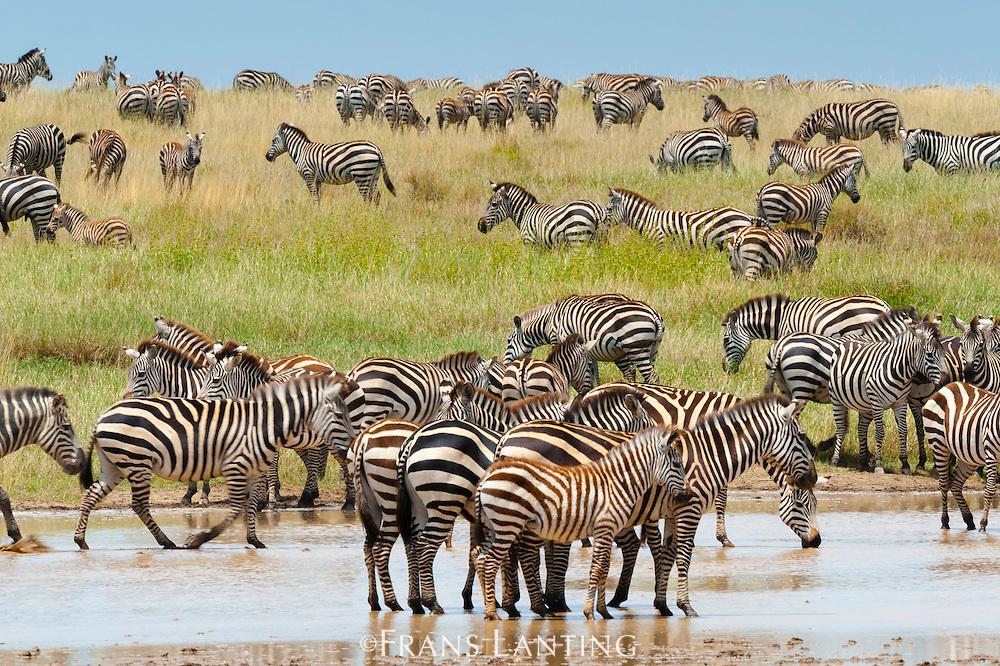 Zebras at water hole, Serengeti National Park, Tanzania