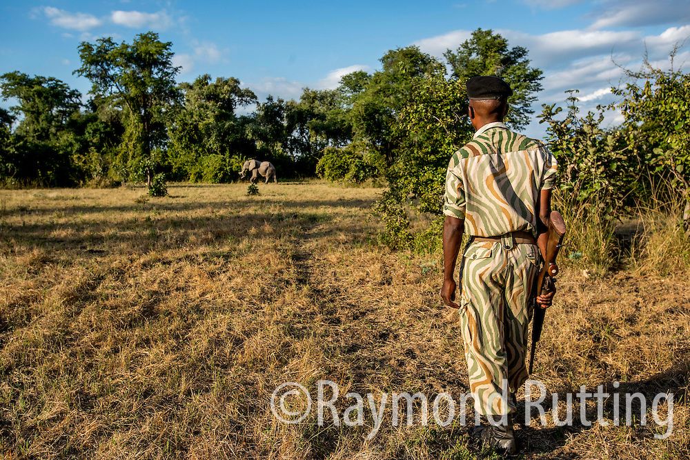 Zambia -the Mosi-oa-Tunya National Park offered sightings of buffalo, giraffe, zebra, wildebeest and impala and the white rhino. They were reintroduced into the park and the only way they survive from poaching is with armed guards 24/7. In this case, they are not using high gauge single shot rifles like walking safari guides do as last ditch protection of tourists from wild animals, but rather these guards are carrying semi-automatic AK-47 like weapons to protect the rhinos (and themselves) from poachers who stay away from this area as a result. Taking camp guests on short walks to see the rhinos. It's yet another way that ecotourism in Zambia helps to protect endangered species in the savannah woodlands. photo raymond rutting