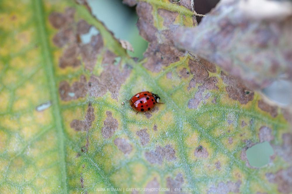 Ladybug beetle on a leaf.