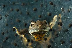Great Crested Newt or Northern Crested Newt, male (Triturus cristatus) eating frogspawn. Lake Selent (Selenter See), Germany   Das bis zu 18 cm große Kammmolch-Männchen (Triturus cristatus) verlässt sattgefressen den Froschlaich-Ballen.