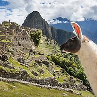 Peru, Urubamba Province, Llama (Lama glama) walking amid Inca ruins at Machu Picchu