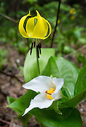 A yellow Glacier Lily grows above a white Trillium Flower along Ingalls Creek Trail, in Wenatchee National Forest, between Leavenworth and Blewett Pass, in Washington, USA. Erythronium grandiflorum is commonly known as glacier lily, yellow avalanche lily, and dogtooth fawn lily.