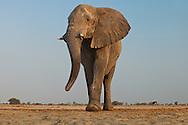 Elephant male, Loxodonta africana, Etosha National Park, Namibia