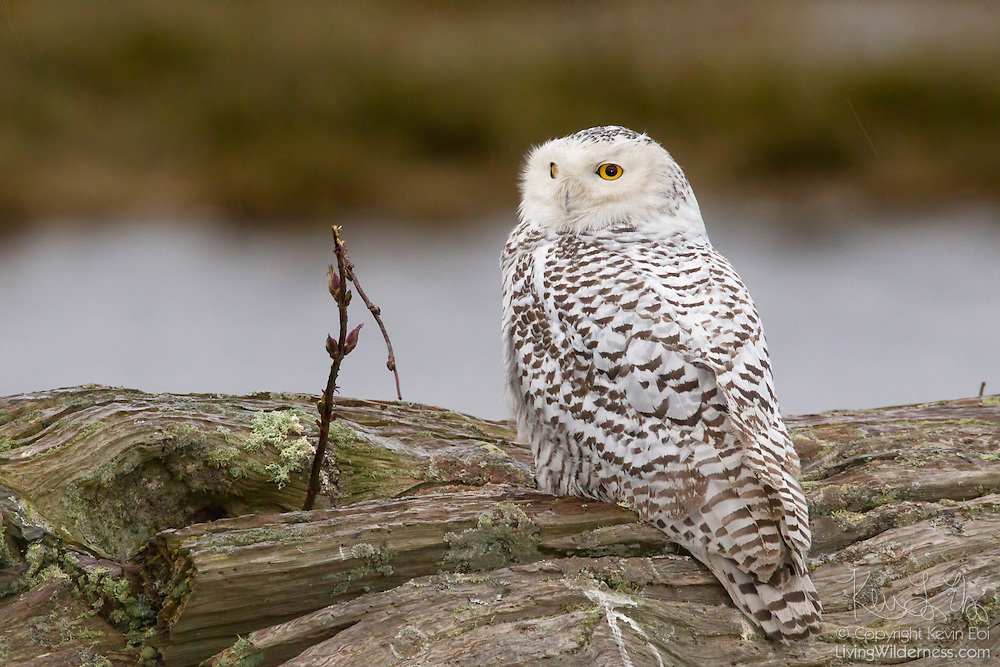 A snowy owl (Bubo scandiacus formerly Nyctea scandiaca)  rests on driftwood during a rain storm at Boundary Bay in southern British Columbia, Canada. Snowy owls migrate that far south only once or twice a decade in a type of migration known as an irruption.