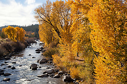 """Truckee River in Autumn 3"" - These cottonwood trees were photographed in autumn at the Truckee River in Downtown Truckee, CA."