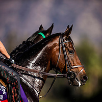 Laughing trains for the Breeders' Cup Fillies and Mare Turf at Santa Anita Park in Arcadia, California on October 31, 2013. (Alex Evers/ Eclipse Sportswire)