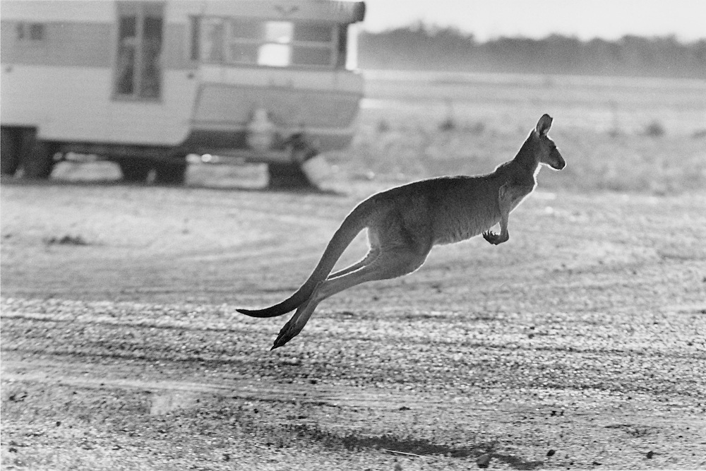 """""""Kangaroo Harvesting In Australia"""".A kangaroo hops away looking for some feed on the grass lawns of homes in the town of Hebel during the draught of 2002. . Kangaroos mainly travel in mobs and have a compete and complex social structure. The quotas for killing kangaroos set by the Federal government have increased stedily over the years..There are 48 species of kangaroos and the most common 4 species are harvested on a commercial basis...The main species killed are red kangaroos (50% of total),.eastern grey ( one third of total) Western Grey ( around 10% of total) and wallaroo or euro (10% of total)"""