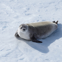 A Crabeater Seal in McMurdo Sound, Antarctica.