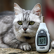 """SMOKEY WITH A SOUND METER SHOWING 92 DECIBELS... Pet cat Smokey is believed to have the LOUDEST PURR in the world - with piercing purrs as loud as a LAWNMOWER...Most cats purr at around 25 decibels but Smokey's powerful purrs average an amazing 80 DECIBELS...When measured close-up her purrs reach an incredible 92 decibels, equivalent to the noise of a lawnmower, hair dryer or a Boeing 737 coming into land...Owners Ruth and Mark Adams say Smokey's deafening purrs make it impossible for them to hear the television or radio when she is in the room and they struggle to have telephone conversations...""""She has always been very vocal and purrs at some level nearly all the time,"""" said Ruth, from Pitsford, Northampton...""""She even manages to purr while she eats. The only time she is quiet is when she is asleep...""""When I'm on the phone friends often ask what the loud noise is and they can't believe it is coming from a cat.""""..SEE COPY CATCHLINE Cat has loudest purr in world"""