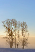 Cottonwoods in the Lamar Valley at Dawn, Yellowstone National Park