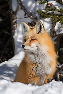 A red fox vixen awakens from her nap as she hears her mate approaching. Along with this beautiful vixen, I've seen and photographed many foxes during the last year. Because of that, I'll always fondly remember 2015 as the year of the fox.