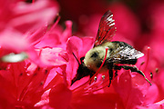 Bee pollinating a pink forsythia bush in full bloom. Photo by Bryan Rinnert