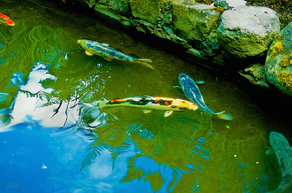Koi in an outdoor pond, blue sky overhead with great reflections in the water.