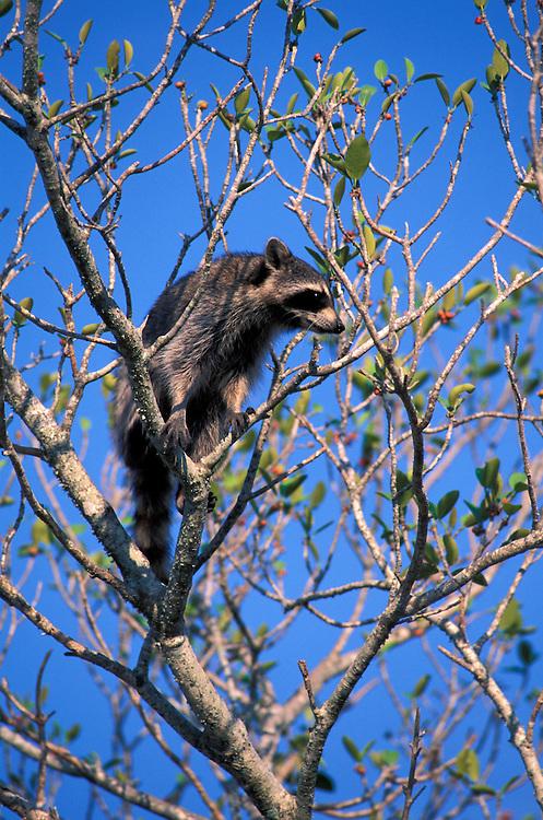 Raccoon (Procyon lotor) in tree, Florida, USA