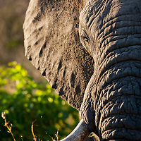South Africa, Mpumalanga Province, Sabi Sands Game Reserve, Close-up of Elephant (Loxodonta africana) at sunset in thick brush