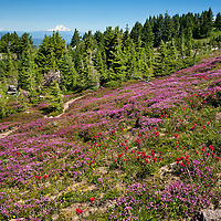 OR01673-00...OREGON - Brightly colored paintbrush and heather in a meadow along the McNeil Point Trail in the Mount Hood Wilderness area with Mount Adams in the distance.