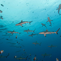 A school of Gray Reef Shark, Carcharhinus amblyrhynchos, swimming with Pyramid Butterflyfish, Hemitaurichthys polylepis, Palau islands, Pacific Ocean,