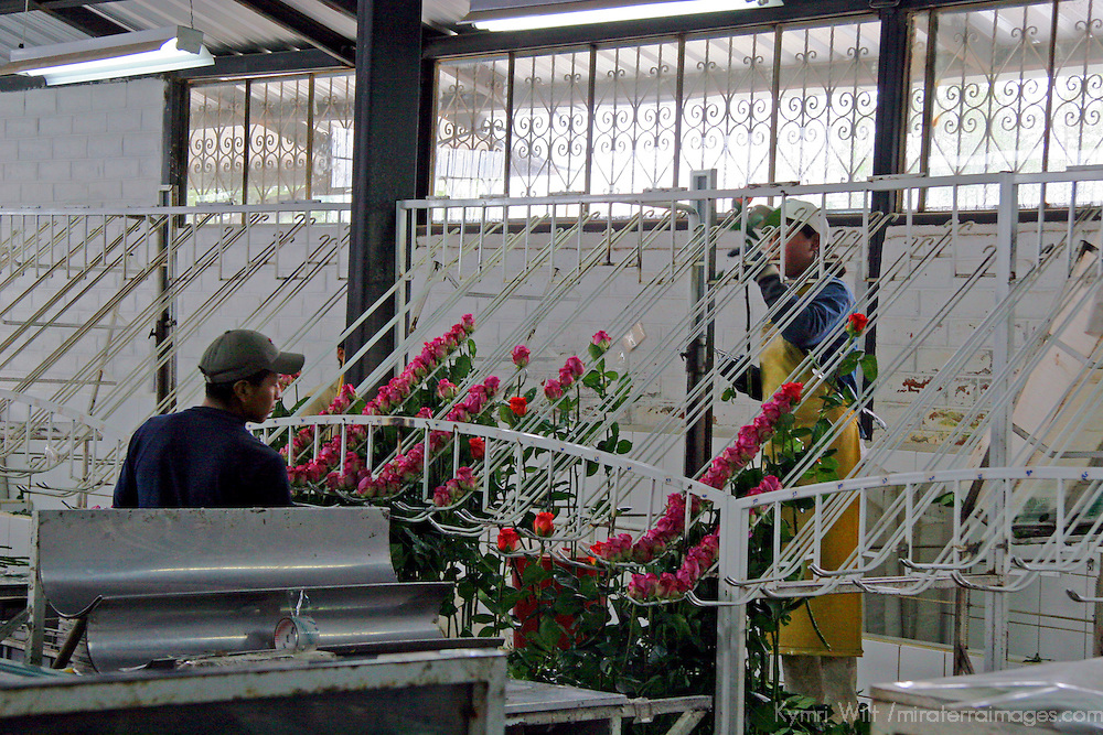 South America, Ecuador, Tabacundo. Galapagos Flores Farm, growing roses for export all over the world.