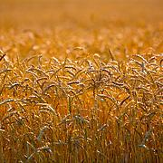 A wheat field in southern Wisconsin. ..