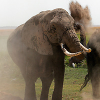 Africa, Kenya, Amboseli. An elephant blows dust on itself to stay cool at Amboseli.