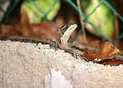 A Basilisk Lizard, AKA, Jesus Christ lizard, warms itself in the Mexican sun.